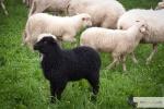 Mieszanie owiec (redyk) w Beskidach
