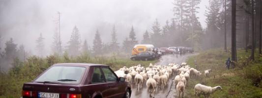 Mieszanie owiec czyli redyk wiosenny w Beskidach
