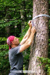 Mocowanie pasów chroniących drzewo