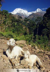 Powrót z Annapurna Base Camp