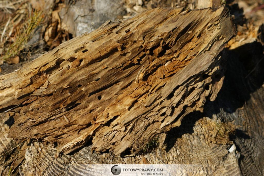 Spróchniałe drewno