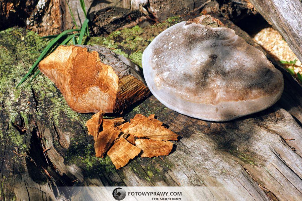 Z lewej strony przekrojony hubiak pospolity i przygotowane plastry z jego owocnika, z prawej strony czyreń ogniowy